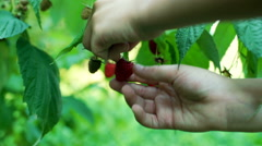 Person picking red raspberries from the shrub  Stock Footage