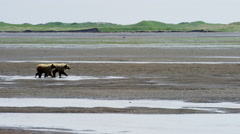 Young Brown Bear cubs Katmai Peninsula Cook Inlet Coastline National Park Stock Footage
