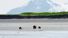 Young cubs with Alaskan mother Brown Bear Katmai Peninsula Coastline National Stock Footage
