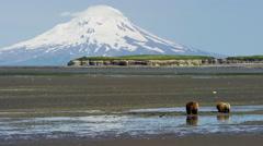 Alaskan mother Brown Bear and cubs with Mt Redoubt volcano Katmai Peninsula Stock Footage