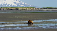 Alaskan mother Brown Bear and cubs with Mt Redoubt volcano Katmai Peninsula Stock Footage
