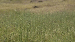 Rack Focus Of Tall Grass In The High Desert Of Oregon Stock Footage
