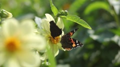 Two butterflies polinating a flower Stock Footage