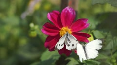 Butterfly polinating a flower. Other butterfly trying to Stock Footage