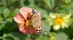 Butterfly polinating a flower Stock Footage