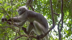 Dusky leaf monkey, Langur in Forest Eating Green Leaves, Railay, Krabi, Thailan. Stock Footage