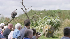 4K Vulture in flight lands on the glove of handler at conservation center Stock Footage