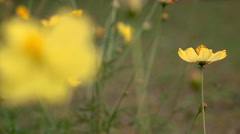 Slow motion Yellow cosmos flower blown by the wind with sun light Stock Footage