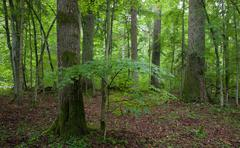 Natural stand of Landscape Reserve with oak tree moss wrapped Stock Photos