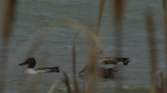 Slow motion - close on shoveler ducks swim in windy marsh water Stock Footage
