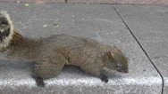 4k, Cute Pallas's squirrel on the asphalt ground in a park of Taipei city-Dan Stock Footage