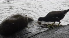4k Common moorhen is fishing and eating a fish over rock in a lake with rain-Dan Stock Footage