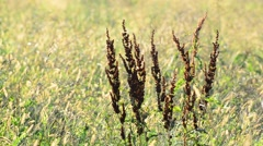 Rumex confertus in the autumn field Stock Footage