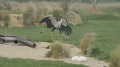 4K Secretary bird eating scraps of meat thrown by keeper at conservation center Stock Footage