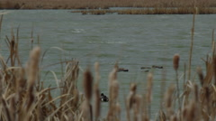 Slow motion - widgeon and shovelers bob in windy chop in marsh Stock Footage