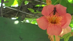 4K Asian giant hornet, Vespa mandarinia over orange flower in park of Taiwan-Dan Stock Footage