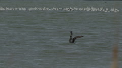 Pintail duck flaps wings in front of raft of snow geese in windy marsh Stock Footage