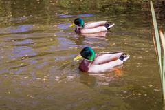 Mallard duck swims in lake or river. Stock Photos