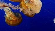 Orange jellyfish in blue ocean water background Stock Footage