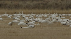 Snow geese in wheat field feed and fight low angle Stock Footage
