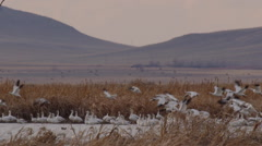 Slow motion - snow geese take off from marsh below mountain Stock Footage