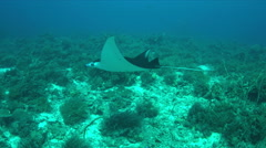 4k Manta ray on a coral reef Stock Footage