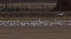 Early light on snow geese feeding in farm wheat field Stock Footage