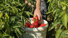 Hands of farmer picking peppers from the plants and loading bucket by Cutter. Stock Footage