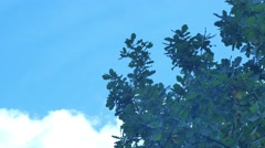 Autumnal Oak Leaves Late summer early autumn on the blue sky Stock Footage