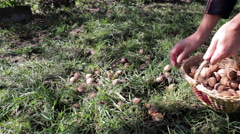 Harvest walnuts to cart Stock Footage