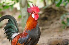 Colorful rooster or fighting cock  in the farm Kuvituskuvat