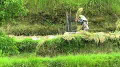 Java, Indonesia - August 2016: Traditional manual rice thrashing by female farm Stock Footage
