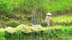 Java, Indonesia - August 2016: Asian female manual harvest worker on hillside Stock Footage