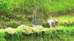 Java, Indonesia - August 2016: Slow motion manual rice harvest by female farm Stock Footage