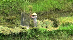 Java, Indonesia - August 2016: Female rice farm worker drying and thrashing Stock Footage