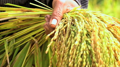 Slow motion of Asian hands with sheaf of rice from harvesting, rural organic Stock Footage