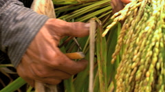 Asian farm hands in slow motion with sheaf of ripe grain on rural agriculture Stock Footage