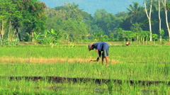 Java, Indonesia - August 2016: Asian male in rice field with traditional manual Stock Footage