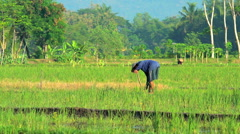 Java, Indonesia - August 2016: Asian male harvesting rice crop with traditional Stock Footage