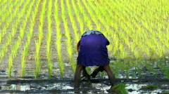 Java, Indonesia - August 2016: Slow motion planting cereal crop in fertile soil Stock Footage