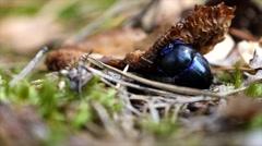 Beetle eating a rotten mushroom Stock Footage