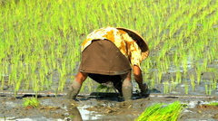Java, Indonesia - August 2016: Planting cereal crop in slow motion by female Stock Footage