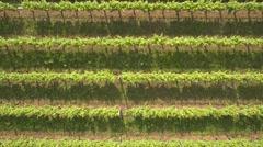 Vineyard in Italy Stock Footage