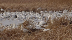 Slow motion - snow geese in reeds of marsh in evening light Stock Footage