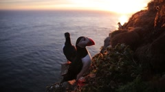 Puffins standing and flying on cliff Stock Footage