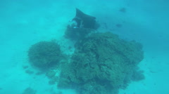 Tropical Paradise a Manta Sting Ray swimming off Bora Bora Island in clear Stock Footage