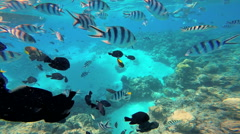 Tropical Paradise colorful fish swimming off Bora Bora Island in clear textured Stock Footage