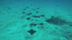 Eagle Sting Rays in undersea Paradise swimming in deep ocean transparent water Stock Footage