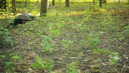 Peacock walks in the park. exotic bird in the forest. animal world Stock Footage