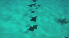 Large fever of Eagle Sting Rays swimming in clear blue transparent South Pacific Stock Footage